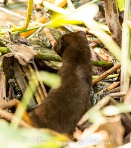 Everglades Mink