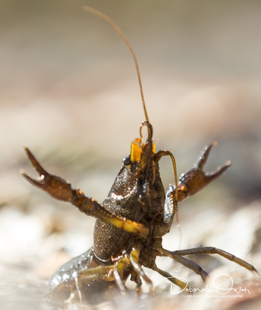 Crawfish taken by Tommy Owen